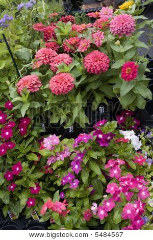 Annual Flowers Zinnias Impatients