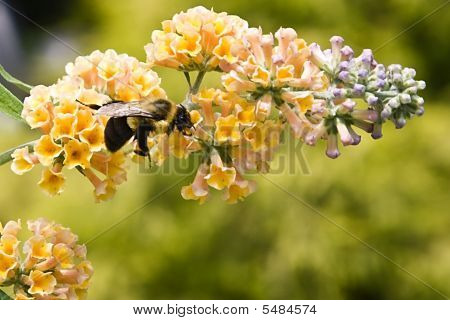 Bumble Bee Flying To A Butterfly Bush