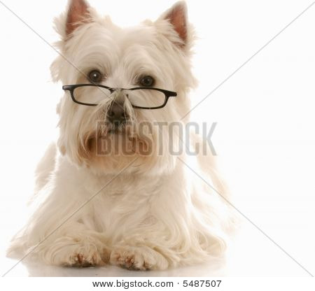 Westie With Reading Glasses