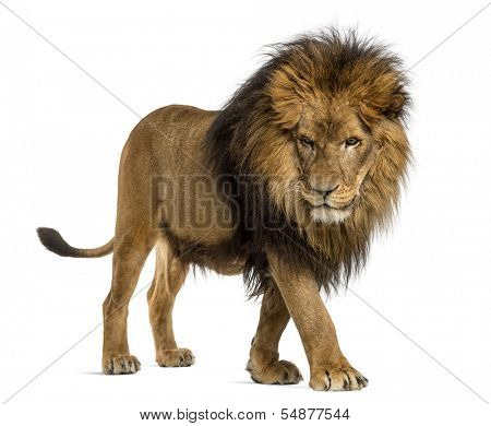 Side view of a Lion walking, looking down, Panthera Leo, 10 years old, isolated on white