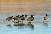 flock of coots ( fulica atra ) walking on frozen surface of the lake poster