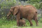 a mother and baby elephant in samburu national park kenya poster