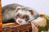 Portrait of sable ferret lying in the basket poster