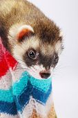 Sable ferret lying in the basket, close up poster