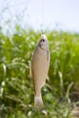 Live fish caught on a fishing hook against the background of a lake and green vegetation. poster