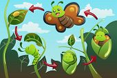 A vector illustration of life cycle of the butterfly poster
