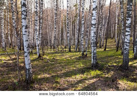 Deciduous Birch Forest With Evening Sunlight