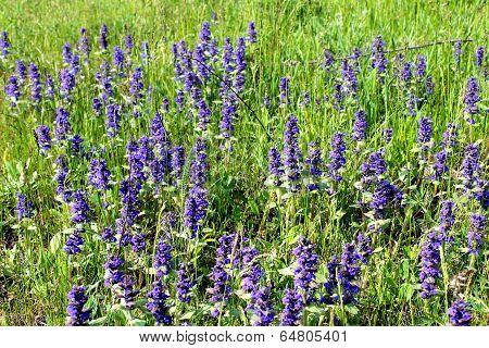ajuga on the meadow