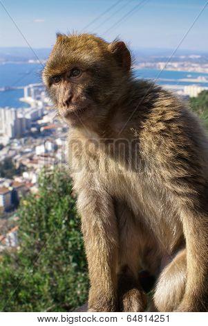 Barbaby Ape sitting on wall overlooking the port area Gibraltar UK Western Europe. poster