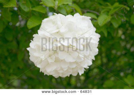 Single Snowball CloseUp