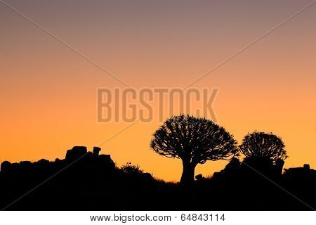 Silhouette of quiver trees (Aloe dichotoma) at sunset, Namibia, southern Africa