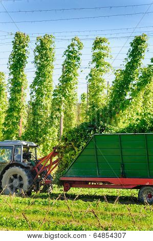 Harvesting the Hop