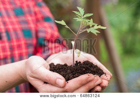 Woman Holding Tomato Seedling