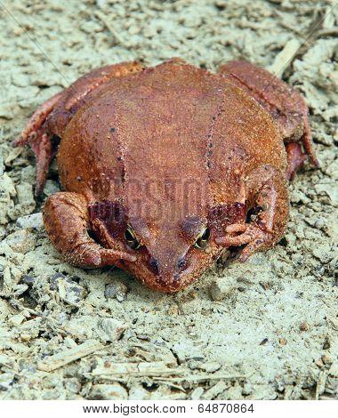 Big brown frog