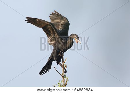 Neotropic Cormorant Perched In A Tree
