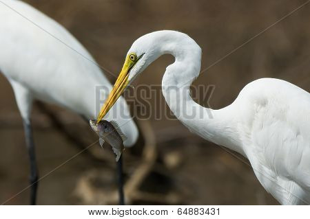 A portrait of a Great White Egret (Egretta alba) with a captured fish poster