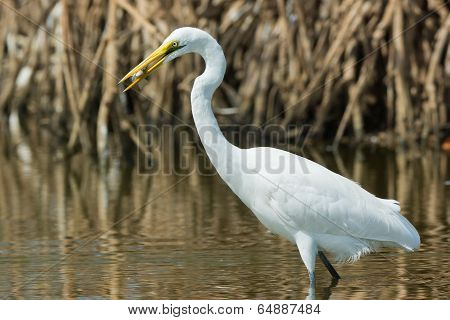 Great White Egret (egretta Alba) With A Captured Fish