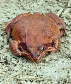 Big brown frog sitting on the ground poster