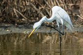 Great White Egret (Egretta alba) scratching its neck with its foot poster