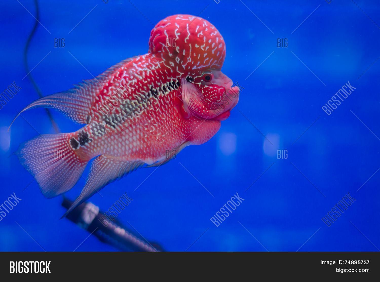 Flowerhorn Fish Image & Photo (Free Trial) | Bigstock