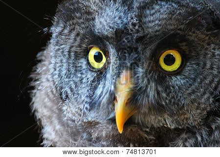 Graet Grey Owl