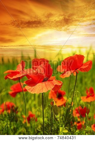 poppies field in rays sun
