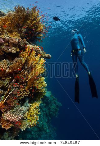 Underwater shot of the lady free diver in wet suit ascending along the vivid coral reef wall. Red Sea, Egypt poster