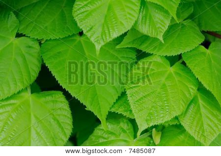Beautiful green leaves which are pictured close up poster