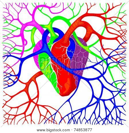 Human heart colorful vector illustration