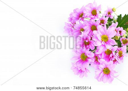 Pink Chrysanthemum - Stock Image