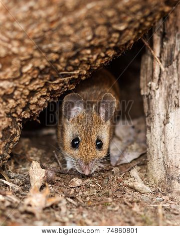 White Footed Mouse In Spring