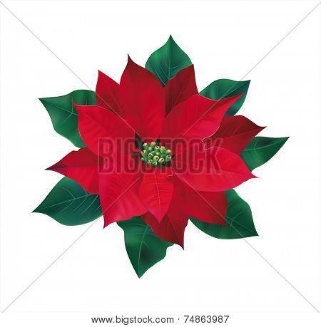 Red flower poinsettia on white. Vector eps 10.