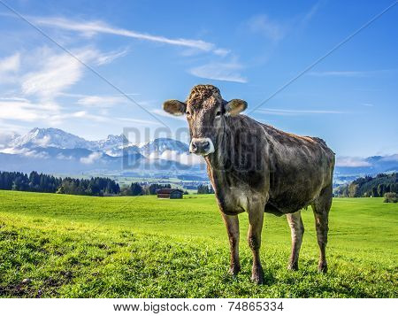Cow With Alps