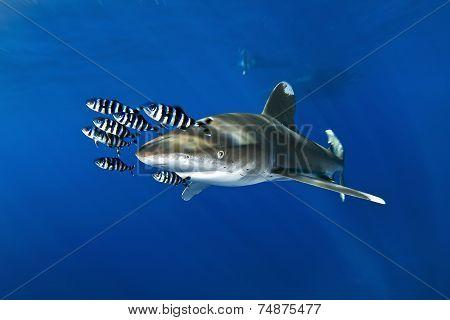 oceanic white tip shark aka Carcharhinus Longimanus