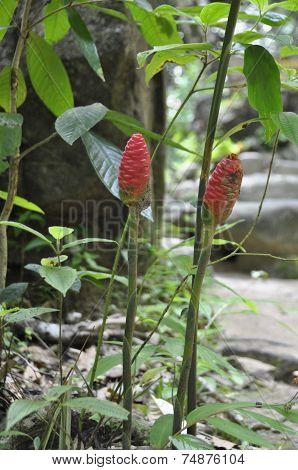 Red Ginger (Alpinia purpurata)