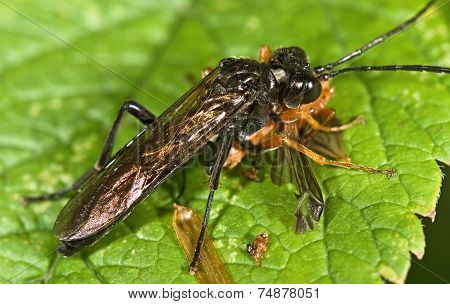 Macro Photo Of Sawfly (order Hymenoptera, Suborder Symphyta) Eating An Insect (cantharis Rustica)