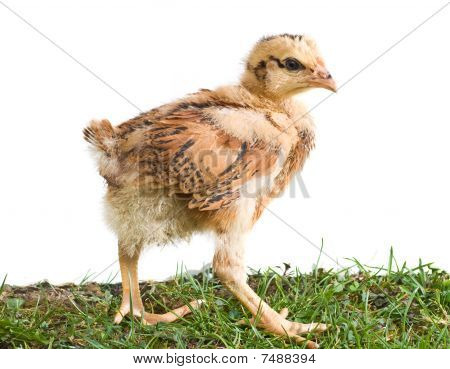 Young Chicken Walking On The Grass