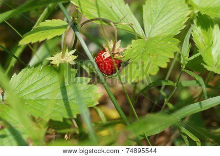 Wild strawberry hidden in the grass