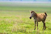 Zebra in Ngorongoro conservation area, Tanzania poster