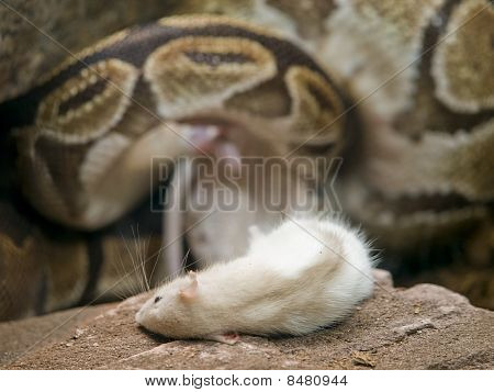 Royal Or Ball Python With Prey