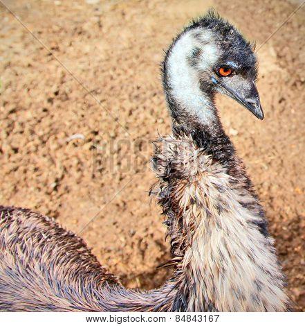 Side view portrait of an emu