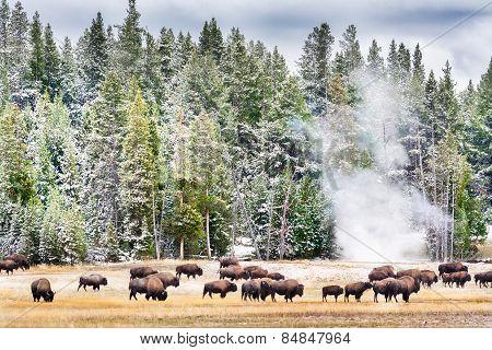 Feeding Bison In Yellowstone's Geyser Basin