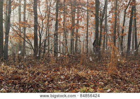 Hardwood Forest Fog 1