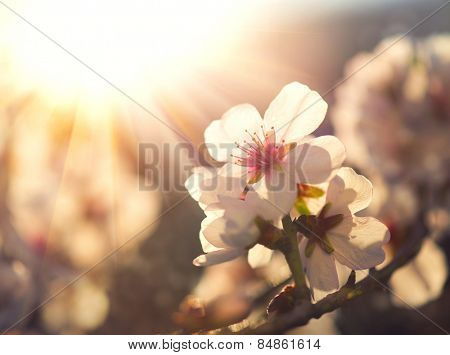 Springtime. Spring flowers blossom background. Beautiful nature scene with blooming tree and sun flare. Sunny day. Beautiful Orchard.