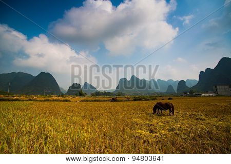 A horse in rice field in Cao Bang, Vietnam