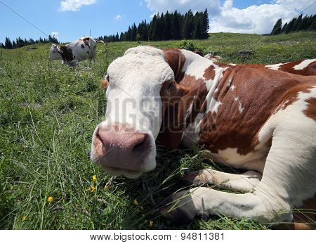 Cow Snout Photographed With Fisheye Lens