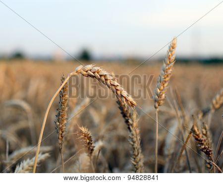 Ears Of Wheat In The Field In Summer