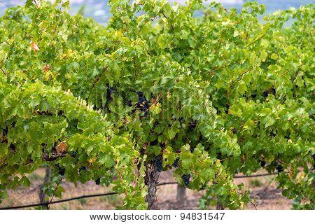 Wine Valley Of Australia