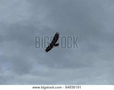 aigle dans le ciel