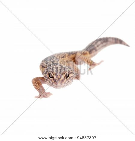The Iranian fat tailed gecko isolated on white